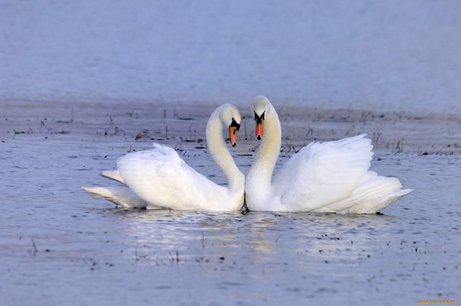 Открытка верность лебедей
