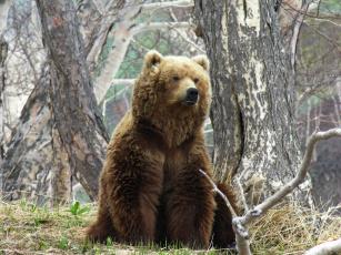 обоя бурый медведь, животные, медведи, медведь, камчатка, бурый