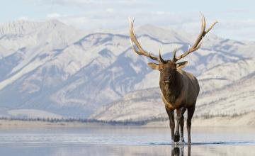 обоя животные, олени, озеро, снег, горы, вапити, олень