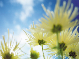 обоя chrysanthemums, цветы, хризантемы