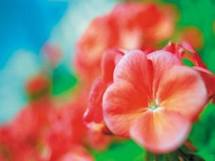 обоя peony, цветы, катарантусы