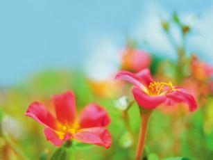 обоя portaluca, цветы, портулак