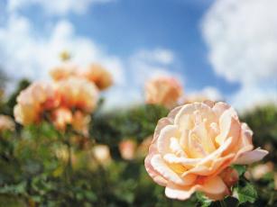 обоя roses, цветы, розы