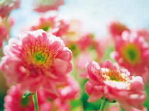 обоя soni, puma, цветы, хризантемы
