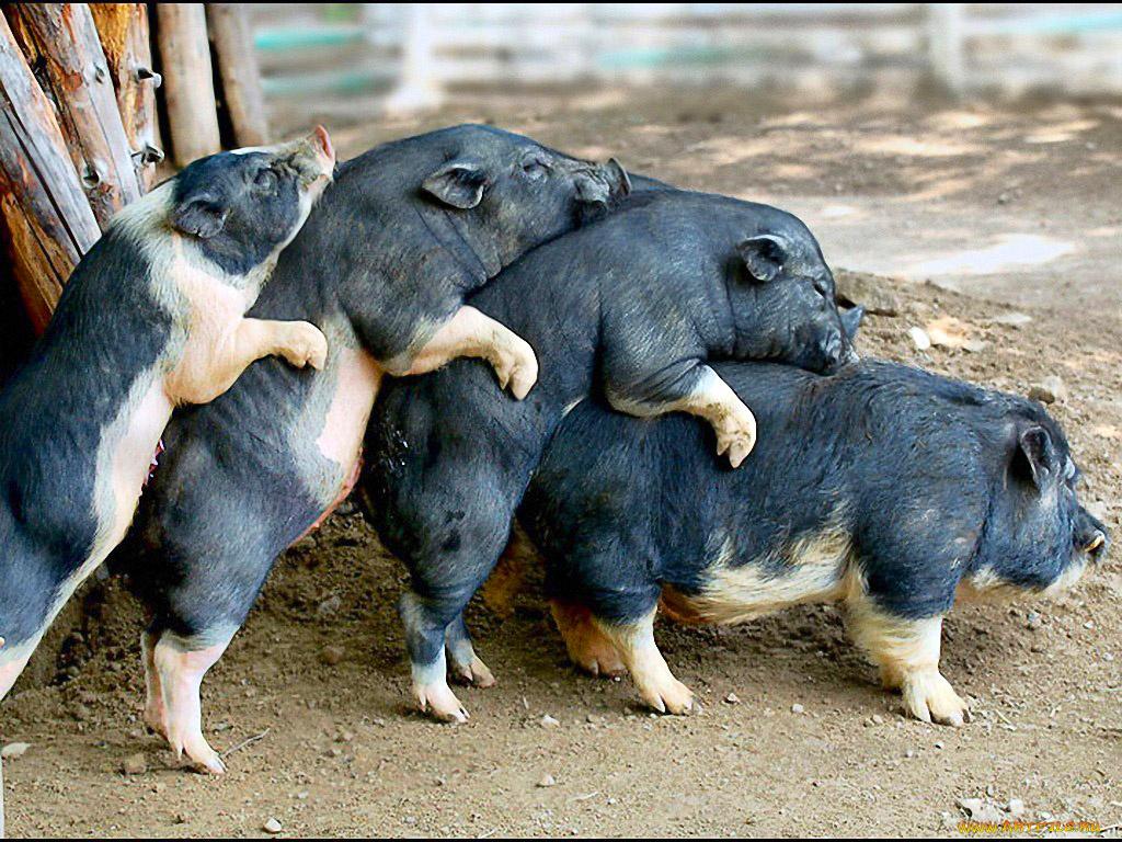 Для тебя, смешные животные картинки с надписями про свиней