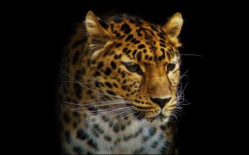 Картинка леопард рисованные животные ягуары леопарды морда усы