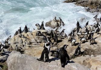 обоя животные, пингвины, волны, скалы