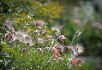 Картинка цветы анемоны +сон-трава сон-трава