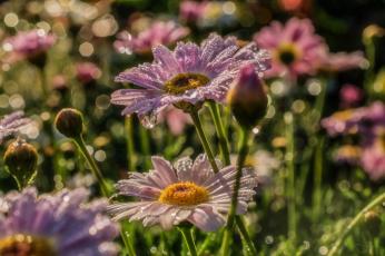 обоя цветы, ромашки, бутоны, макро, роса