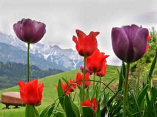 Картинка цветы тюльпаны альпы монтре
