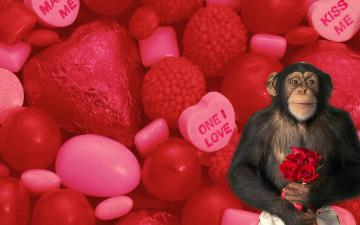обоя юмор и приколы, розы, сердечки, любовь, цветы, букет, шимпанзе, обезьяна, конфеты