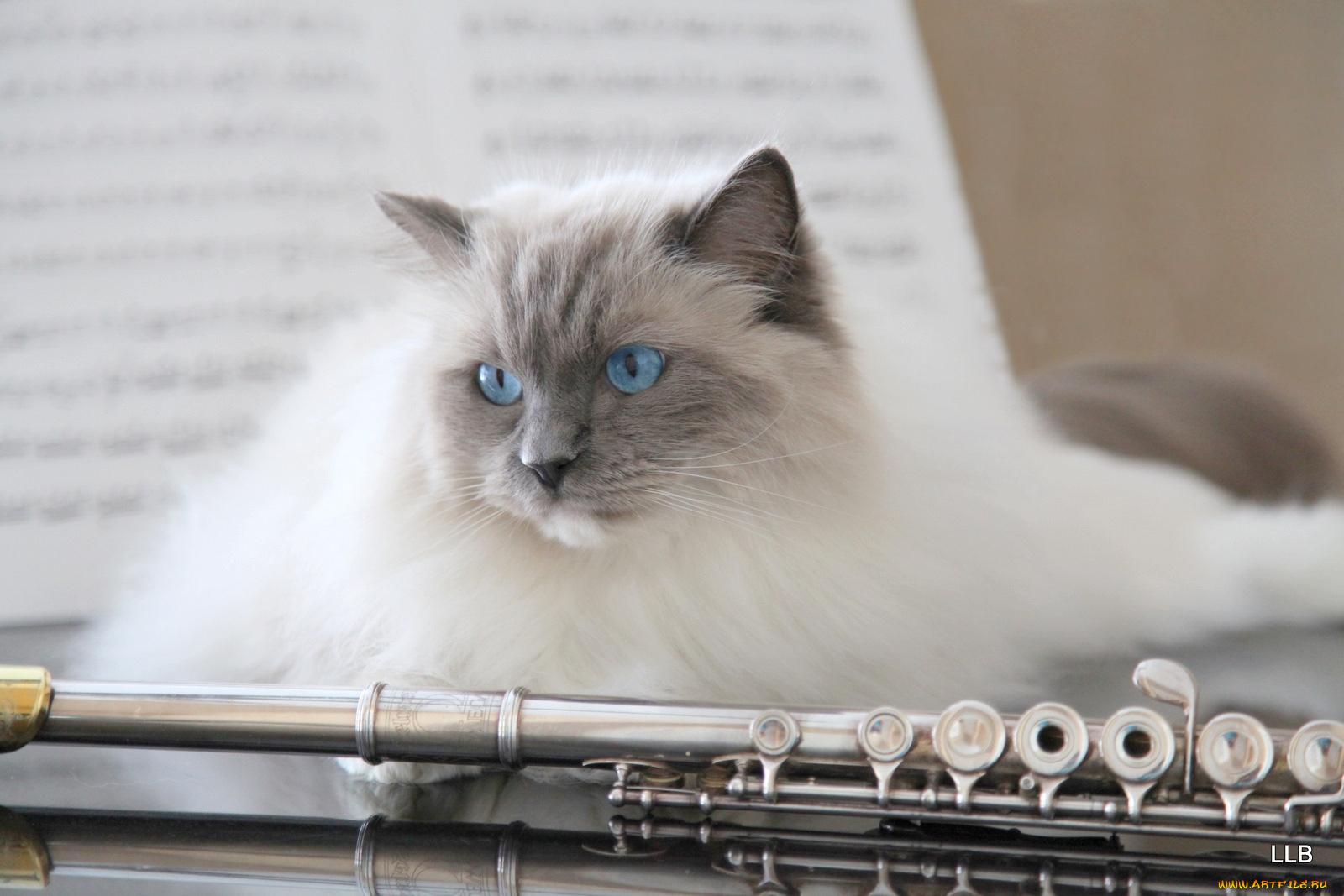 кот с флейтой картинки пакетов нет