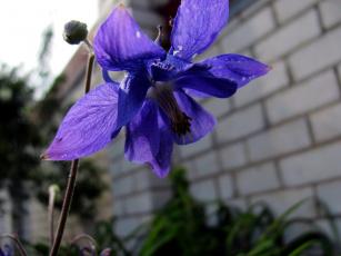 обоя цветы, аквилегия , водосбор, синий