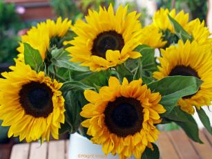 обоя цветы, подсолнухи, подсолнух, лепестки, цветение, sunflower, flowers, petals, bloom