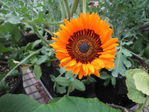 обоя цветы, подсолнухи, желтый
