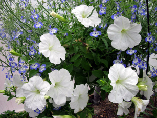 обоя цветы, разные вместе, синий, белый