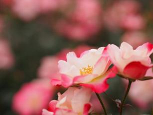 обоя цветы, розы, роза, leaves, petals, bud, rose, бутон, лепестки, цветение, листья, blossoms