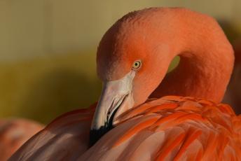обоя животные, фламинго, птица, окрас, перья