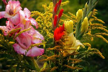 обоя цветы, гладиолусы, желтый, красный, розовый, бутоны