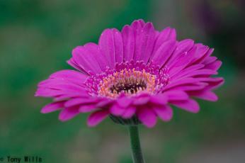 обоя цветы, герберы, гербера, розовая, лепестки, капли, цветение