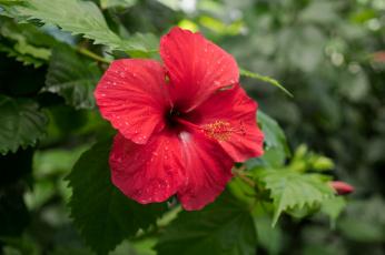 обоя цветы, гибискусы, листики, гибискус, тычинки, цветение, ярко, лепестки