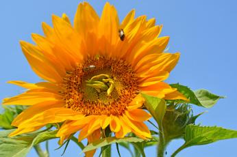 обоя цветы, подсолнухи, подсолнух, цветок, лепестки, листья, лето, цветение