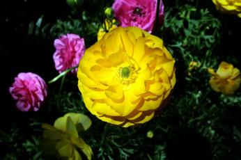 обоя цветы, ранункулюс , азиатский лютик, макро, желтый