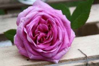 обоя цветы, розы, petals, цветение, бутон, листья, rose, leaves, лепестки, bud, blossoms, роза