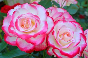 обоя цветы, розы, роза, бутон, лепестки, листья, цветение, rose, bud, petals, leaves, blossoms