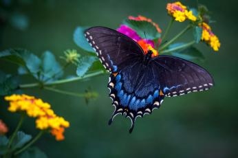 обоя животные, бабочки,  мотыльки,  моли, бабочка, красавица, лантана, крылья