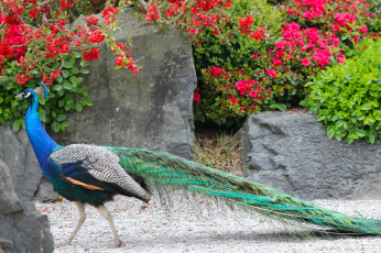обоя животные, павлины, окрас, птица, перья, павлин