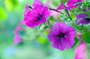обоя цветы, петунии,  калибрахоа, цветение, петуния, цвет