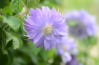 обоя цветы, клематис , ломонос, клематис