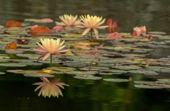 обоя цветы, лотосы, листики, цветение, цветок, лотос