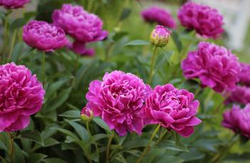 обоя цветы, пионы, куст, листья, лепестки, цветение