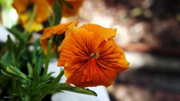 обоя цветы, анютины глазки , садовые фиалки, макро, оранжевый