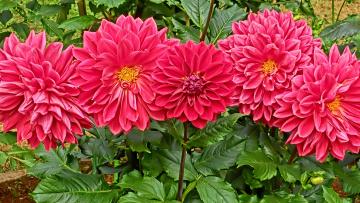 обоя цветы, георгины, георгин, белый, цветение, лепестки