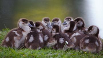 обоя животные, утки, много, малыши, утята