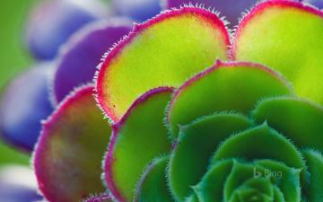обоя цветы, эониум, цветок, лепестки, растение