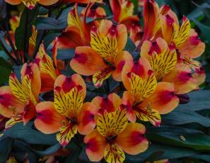 обоя цветы, альстромерия, оранжевые