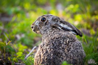 обоя животные, кролики,  зайцы, трава, ушки, животное, кролик, природа