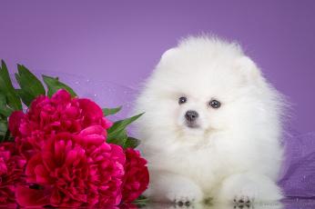 обоя животные, собаки, щенок, боке, пионы, фон, цветы