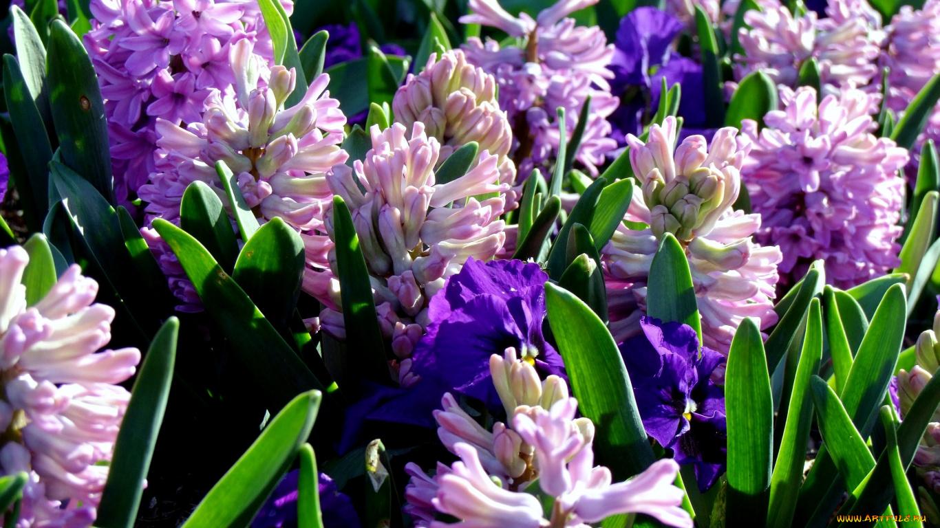 Цветы луковичные сиреневые фото