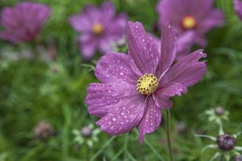 Картинка цветы космея капли макро