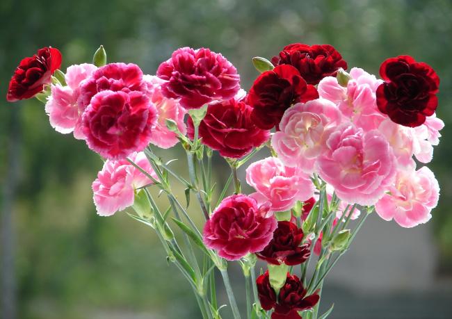 Как выглядит цветок гвоздики 141