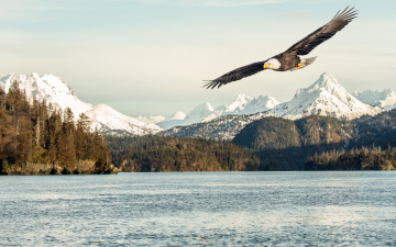 обоя животные, птицы - хищники, snow, bird, flying, flight, sea, mountains, sunlight, bald, eagle