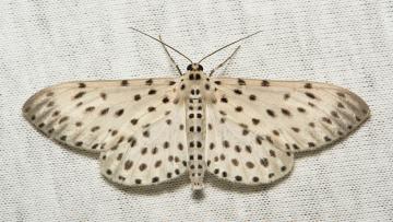 Картинка животные бабочки крылья моль вязаное полотно макро itchydogimages
