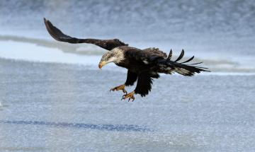 Картинка животные птицы+-+хищники орлан хищник крылья полет берег