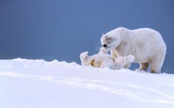 обоя животные, медведи, медвежонок, медведица, игра, аляска, белые, забава, детёныш, зима, снег