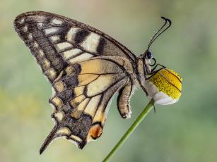 Картинка животные бабочки +мотыльки +моли макро бабочка